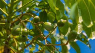 ثمار الكيدوندونغ