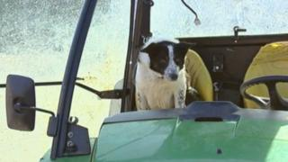 Don the sheepdog in tractor