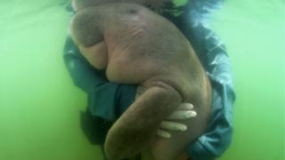 Mariam the Dugong nuzzles into a rescuer