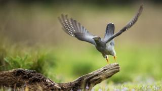A cuckoo flies from a perch in woodland on Thursley Common