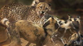 cheetah-and-wild-dogs