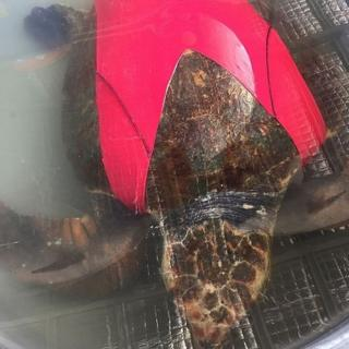 Turtle wearing customised suit designed by University of Queensland researchers