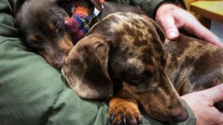 Two sleeping dachshunds .