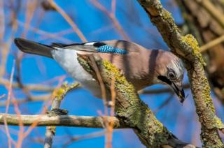 A jay near University Parks, Oxford