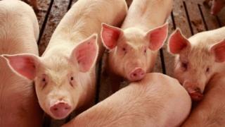 Thịt lơn Mỹ đang chịu ảnh hưởng bởi áp thuế mới của Trung Quốc.