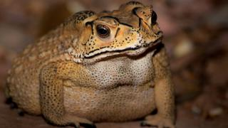 Duttaphrynus melanostictus - the Asian toad