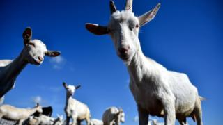 File image of goats