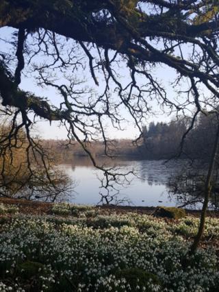 Snowdrop field at Mugdock Country Park