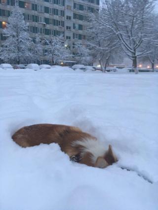 Корги в снегу