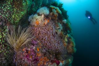 A scuba and cluster of colourful jewel anemones off the coast of Scilly