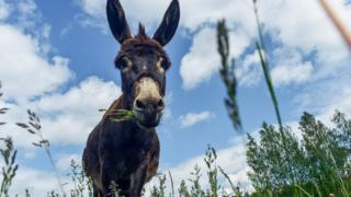 Donkey chewing grass
