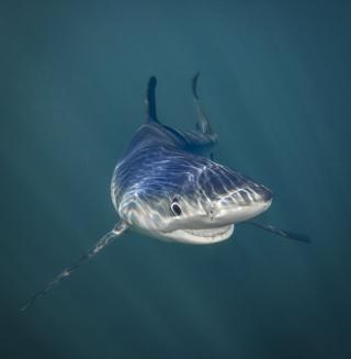 Акула під водою