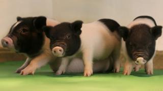 GM pigs