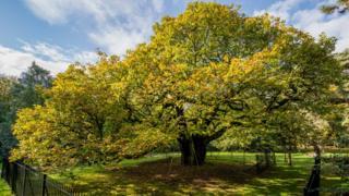 Wide view of Allerton Oak tree in sunshine