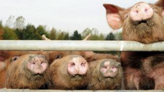 Pigs looking through fence