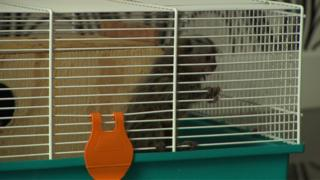 A baby marmoset in a small cage