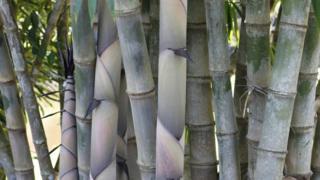 Plantación de bambúes.