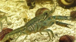 A marbled crayfish in an aquarium