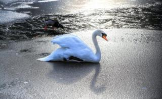 A swan standing on a frozen lake