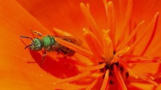 汗蜂有时会落到人身上,因为他们喜欢人体排出的汗液