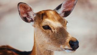 A generic image of a deer
