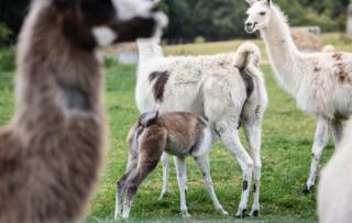 Llamas (c) University of Reading
