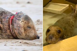 The seal on Waxham beach and at RSPCA East Winch