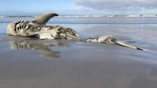 Carcaça de tubarão na areia de Dyer Island