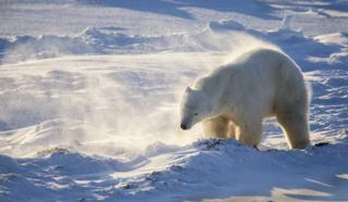 Полярний ведмідь