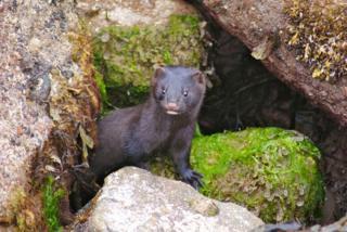 Mink in Aberdeenshire