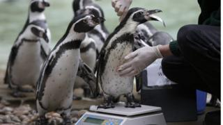Penguins get weighed at London Zoo