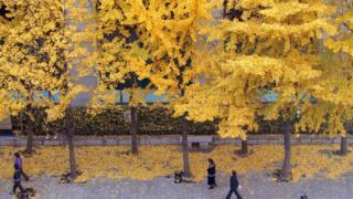Gingko trees in Seoul