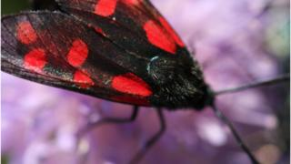 Six spot Burnet Moth