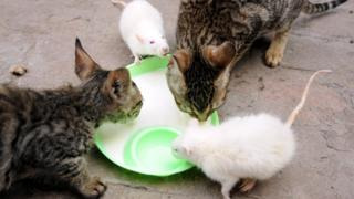 Cats and mice drinking milk together