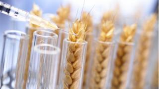 GM Wheat