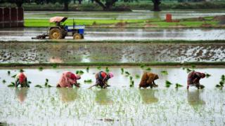 Indian female farmers sow paddy in a field during monsoon season near Allahabad on July 19, 2014