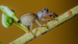 Araña del género de arañas saltadoras