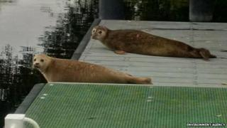 Seals on the river in St Ives