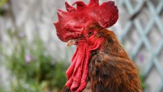 Rooster Maurice