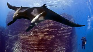 A diver is pictured next to a giant manta ray in the Revillagigedo Archipelago