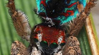 Maratus laurenae