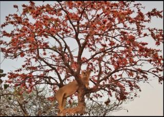 કેસૂડાના વૃક્ષ પર ચડેલો સિંહ
