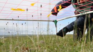 Measuring the grass species Alopercus alpinus