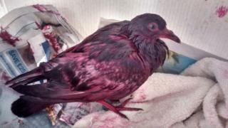 The pigeon was found covered in pink paint and is being cared for by the RSPCA.