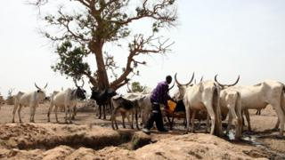 A Fulani herdsman waters his cattle on a dusty plain between Malkohi and Yola town on May 7, 2015.