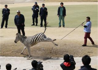 An animal doctor uses a tranquilizer dart to capture an zebra on a golf course in Toki, Gifu prefecture, central Japan Wednesday, 23 March 2016.