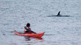 Orca off Caithness coast