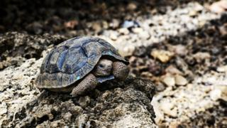 giant-tortoise-on-rocks
