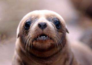 A Hookers Sea lion pup on Enderby Island in the Auckland Islands group , 476 kilometres from the southern tip of New Zealand's South Island.