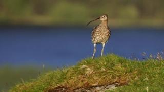 The eurasian curlew